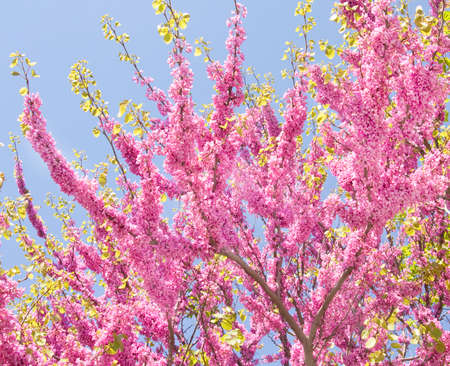 Cercis tree in blossom, recorded in Saints Constantine and Helena resort, Bulgaria.