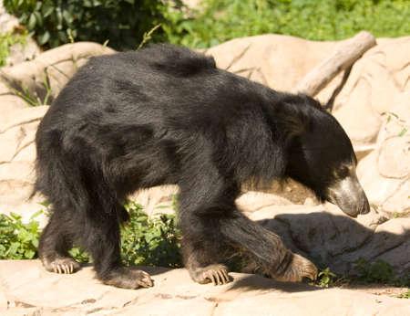 oso perezoso: India oso perezoso, nombre latino Melurgus ursiuns. Foto de archivo