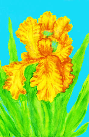 Yellow iris, hand painted picture, watercolours. Size of original 29,5 x 20 sm.
