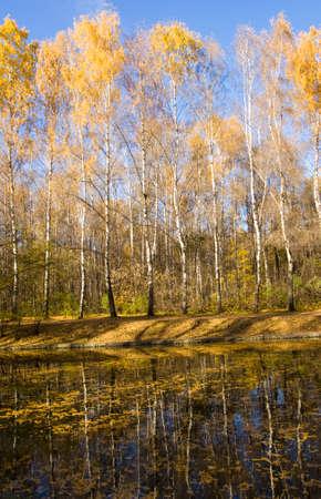 Autumn landscape with yellow birch tree on bank of pond, recorded on Putyaevskye lakes in park Sokolniki, Moscow.