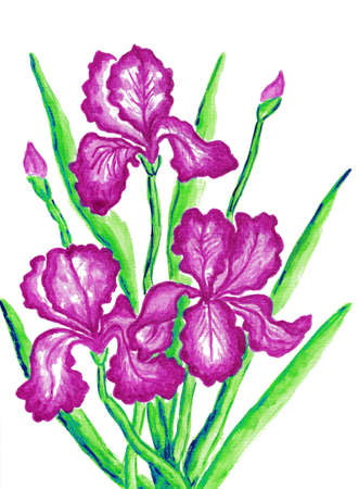 Three pink irises, hand painted picture, watercolours. Size of original 29,5 x 21 sm