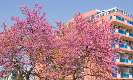 SAINTS CONSTANTINE AND HELENA, BULGARIA - MAY 09, 2015: Hotel Sirius and cercis trees in blossom in Saints Constantine and Helena, the oldest first sea resort of Bulgaria, exists from 19 century. Editorial