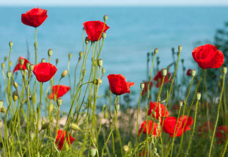 Landscape with red poppy flowers on sea shore with view on blue water, horizontal. Stock Photo