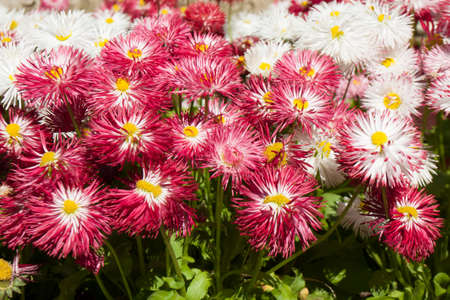 Many pink and white colour daisies on flowerbed, close view.