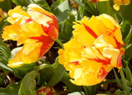 Two yellow tulips with red lines in garden. Stock Photo