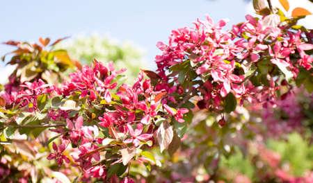 Branch of pink cherry tree (Japanese cherry, sakura)