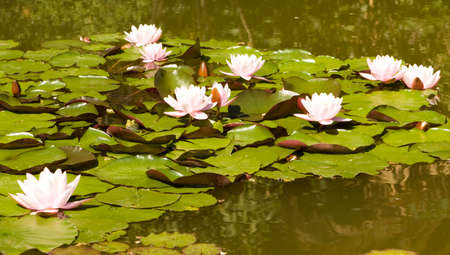 Many pink waterlilies on water with leaves.