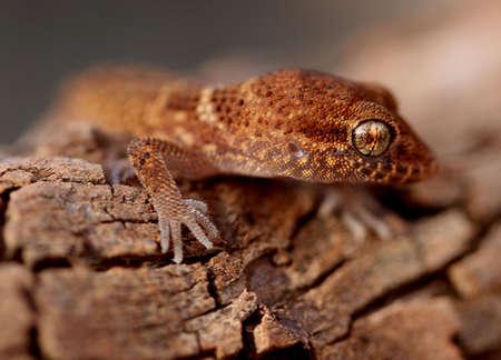 gecko: gecko