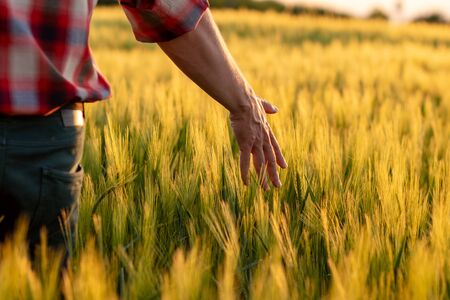Farmer or agronomist walking through field checking golden wheat crop in sunset. Hand touching ripening wheat grains in early summer.