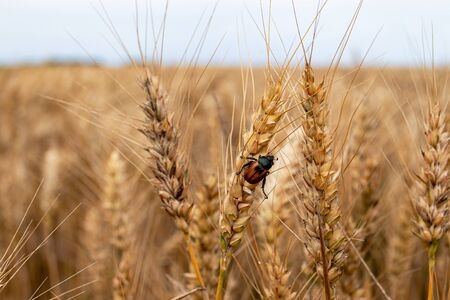 Pest infested wheat field. Locust of agricultural crops, the Grain Beetle (lat. Anisoplia Austriaca) on the ripe wheat ears. Stock Photo