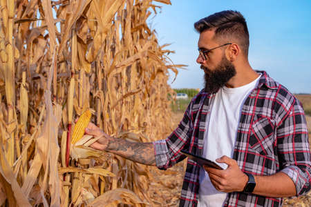 Farmer or agronomist standing in corn field inspecting the golden ripe corn cobs before harvest at sunset. Foto de archivo