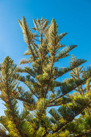 Branches of Norfolk pine trees Stock Photo