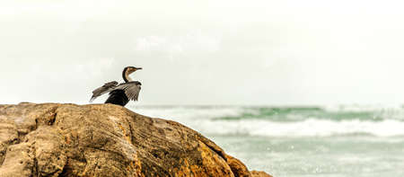 A white-breatsted cormorant spreads its wings to dry in the sun. Banco de Imagens