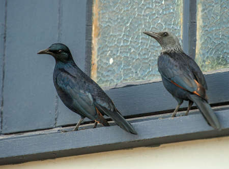 A pair of redwinged starlings. Cape Town, South Africa.les head is grey and the male black. Banco de Imagens