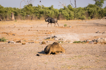 A lioness hipping on the ground at Savuti Stockfoto - 114842049