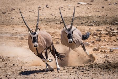 Two oryx running in the Namib desert Stockfoto