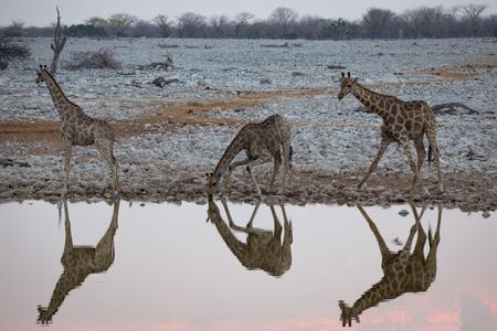 Giraffes drinking at a waterhole in Etosha Stockfoto