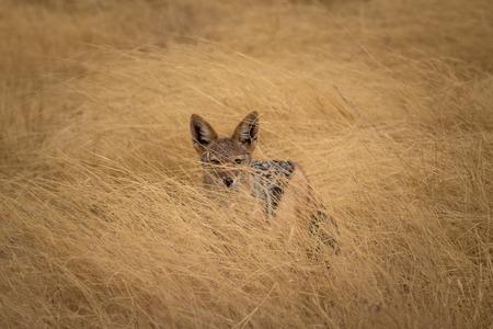 A single black backed jackal at Etosha Stockfoto