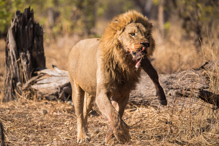 A male lion with his fresh kill Stockfoto