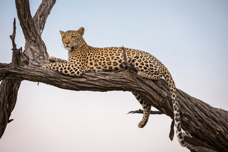 A leopard sitting on a tree at Moremi Game Reserve