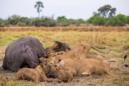 A lion pride with its hippopotamus kill