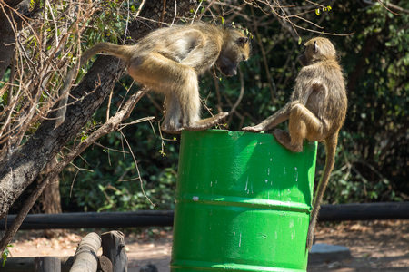 Some baboons plundering a trashcan