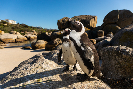 Close shot on two peguins at Boulders Beach (Simonstown) Stockfoto