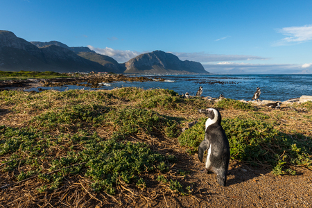 Penguin at Bettys Bay in South Africa Stockfoto