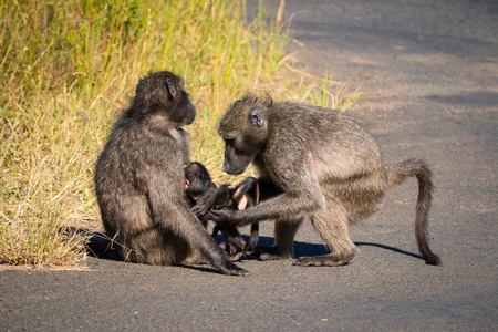 A baboon family takes care of their baby (Addo Elephant National Park)