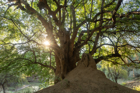 Sunrays between the branches of a south african tree