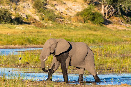 An elephant standing in the boteti river at the Makgadigadi National Park (Botswana) Stockfoto