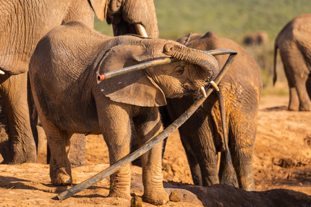 A young elephant plays with trash in the Addo Elephant National Park
