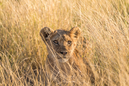 A young lion hipping in the grass of the Central Kalahari Game Reserve