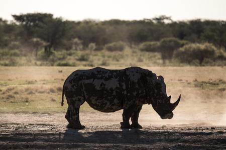 The Silhouette of a Rhino at Khama Rhino Reserve in Botswana