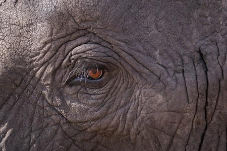 Close up of an elephants eye