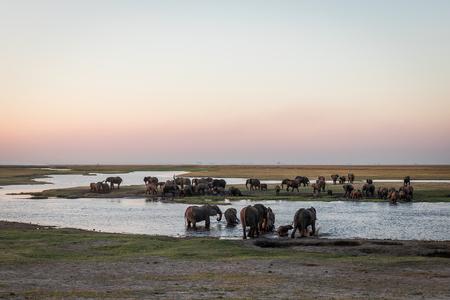 A big herd of elephants crossing the Chobe River in Botswana