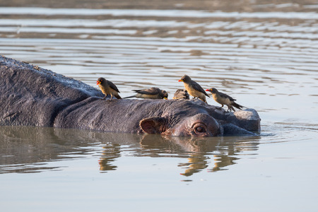 Some oxpeckers sitting on a hippopotamus head while it is realxing in a lake