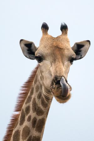 A giraffe licking its nose