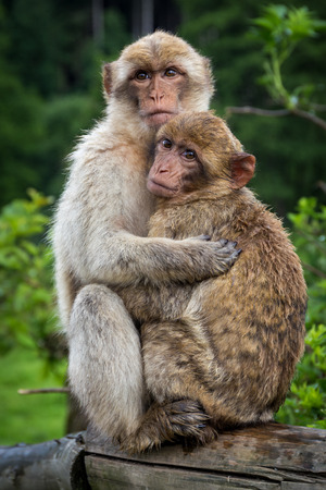 Two monkeys are hugging each other