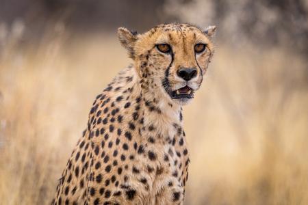 Portrait of a cheetah Stockfoto