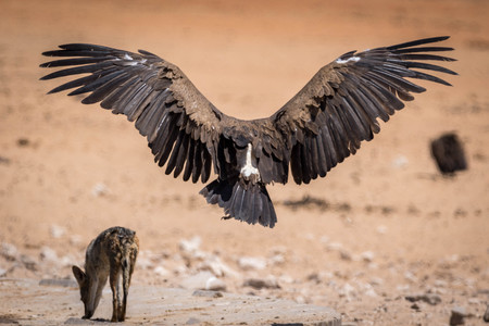 A big vulture landing in the dry sand of the Etosha National Park Stockfoto