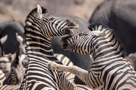 Fighting zebras at the Etosha National Park Stockfoto