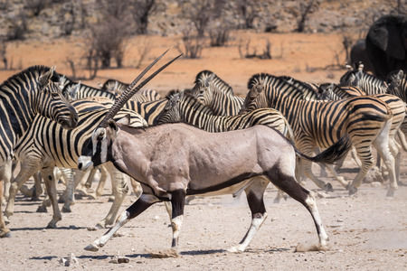 An oryx antelope in front of a group of zebras Stockfoto