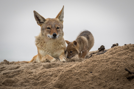A mother jackal with his newborn pup at Walvis Bay in Namibia Stockfoto