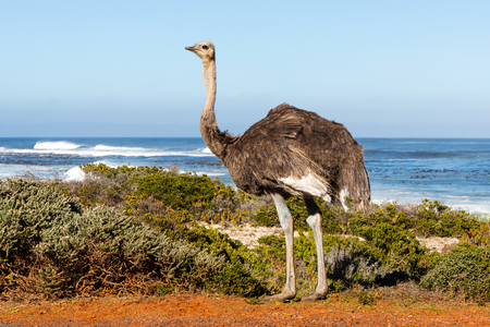 An ostrich at the coast of the Cape Peninsula in South Africa Stockfoto