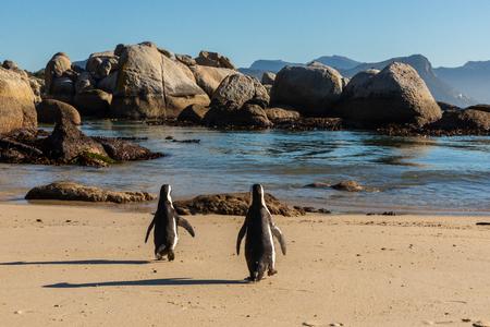 Two penguins walking towards the water Stockfoto