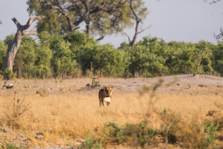 A single lioness standing in the grass of Savuti