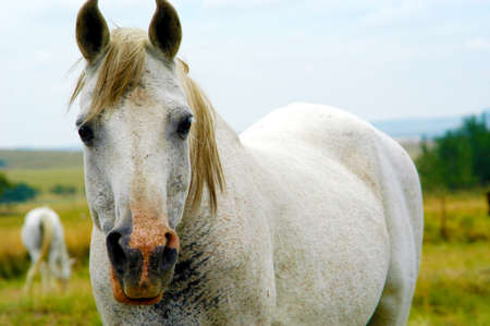 gelding: White horse standing looking at the camera. In the background is another horse feeding. Stock Photo