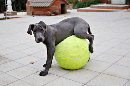 Cutie puppy playing with a big tennis ball in the garden.
