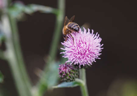 The stinger of a honey bee collecting pollen from blooming creeping thistle flower. Banco de Imagens